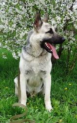 Алиментные щенки Восточно-европейской овчрки (ВЕО)