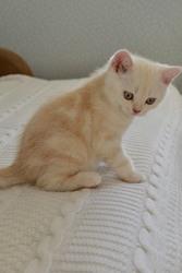 Котенок шотландский прямоухий Скоттиш Страйт окрас Красный Мрамор