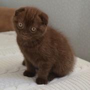 Котенок шотландский вислоухий Шоколадная девочка Скоттиш Фолд