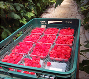 Работа в Португалии,  сбор малины в теплицах