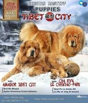 Тибетский мастиф,  щенки тибетского мастифа