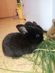 Декоративные кролики черного цвета. Дата рождения 04.05.18