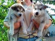 Предлагаются к продаже 7 щенков Аляскинского Маламута
