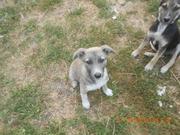 Подарим щенков для двора,  для охраны