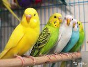 Ручной волнистый попугай