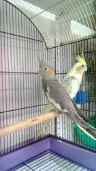 Попугаи карелла,  домашнего разведения