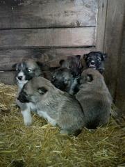 Продаются щенки западносибирской лайки от рабочих дипломированных роди