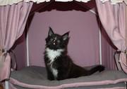 Продам котенка мейн-куна мальчика