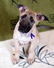 Красивые,  ласковые щеночки ищут любящую семью