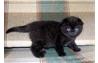 Девочки скоттиш-фолд цвета черной пантеры  (вайбер, видио)    ждет Вас!