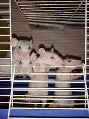 Крысята Сфинксы.(лысые )