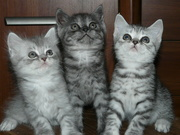 Шотландские котята продам недорого
