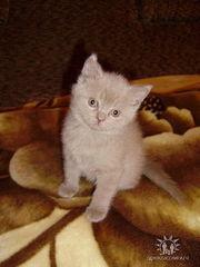 продам британсого котенка