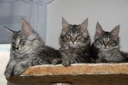 Продам котят породы Мейн кун (maine coon) из чешского питомника