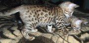 Бенгальские коты