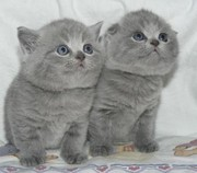 плюшевых британских и шотландских вислоухих(скотиш-фолд) котят