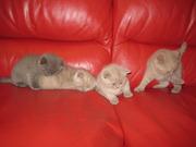 продам котят шотландских (скоттиш фолд и страйт)