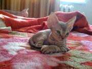 Продам котят породы девон-рекс
