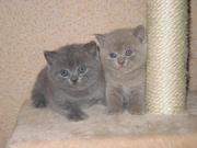 Очаровательные котята шотландской породы