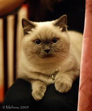Британские котята шикарного окраса колор-поинт