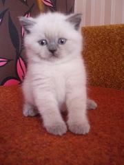 Британский котенок шиканого окраса